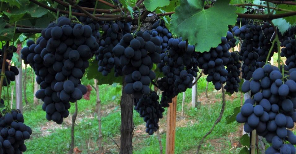Região Sul - uva ecológica