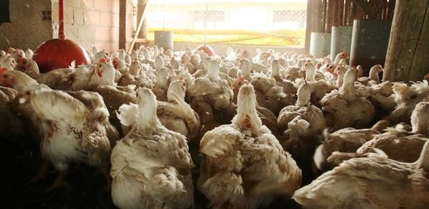 Granja no interior de São Paulo; exportação de frango para a Europa caiu 15% em 2010