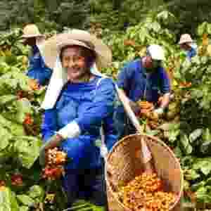 A colheita do fruto é feita manualmente, entre outubro e fevereiro - Fernando Cavalcanti/Ambev